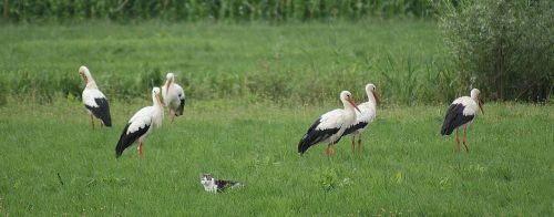 storks cat polder