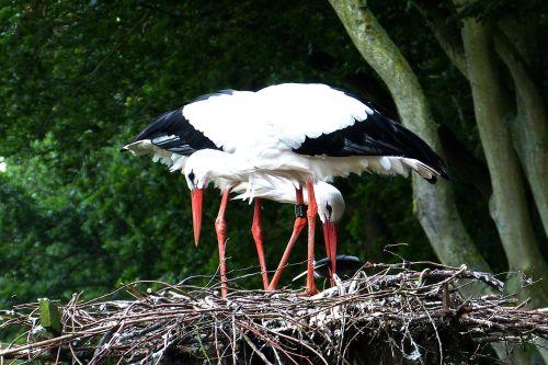 storks nest rearing
