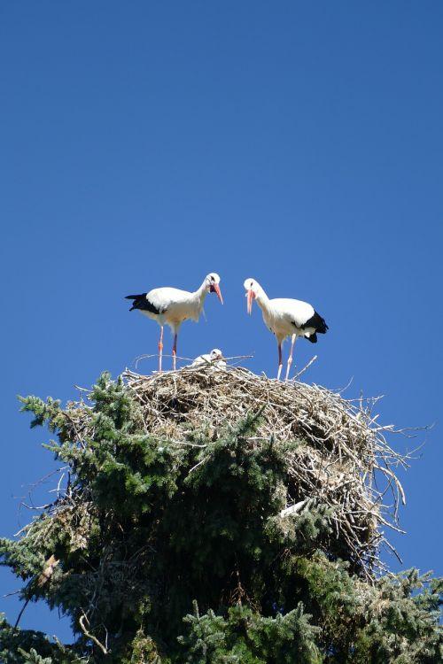 gandrai,trejetas,lizdas puoselėti,jaunas,paukščio parkas,Walsrode,parkas,makro,paukščių parkas Walsrode,paukštis