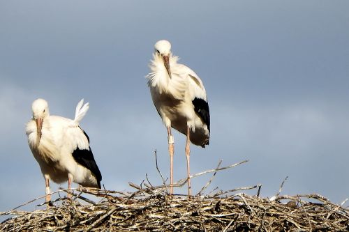 storks stork couple storchennest