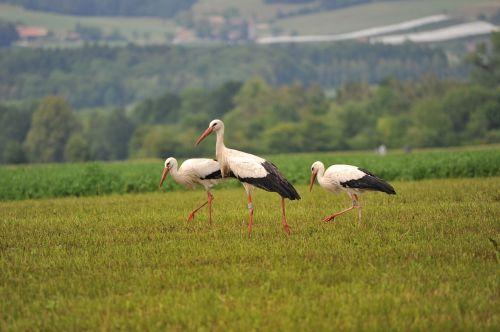 storks bird stork