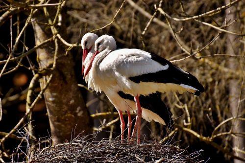 storks nest building pair