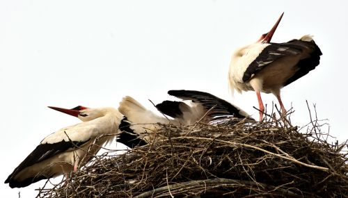 storks stork couple welcome