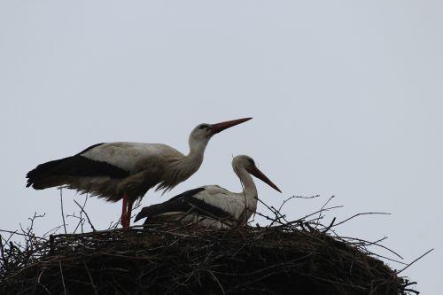 storks birds fly