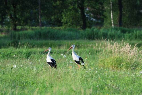 storks birds nature