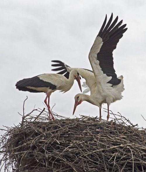 storks bulgaria birds