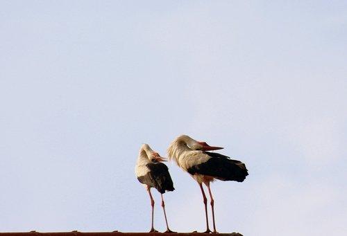 storks  birds  spring
