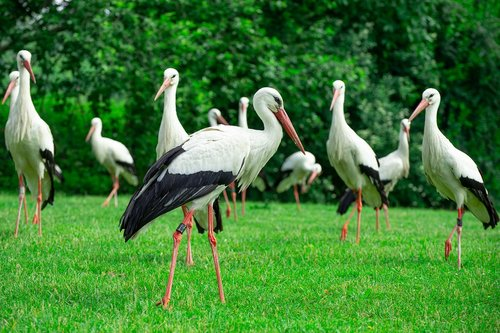 storks  bird on a green meadow  free running storks
