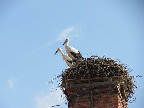 storks  nest  stork