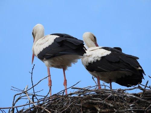 storks  the stork nest  spring