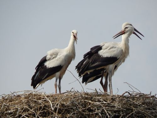 storks birds young