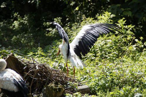 storks stork flügelschlagend