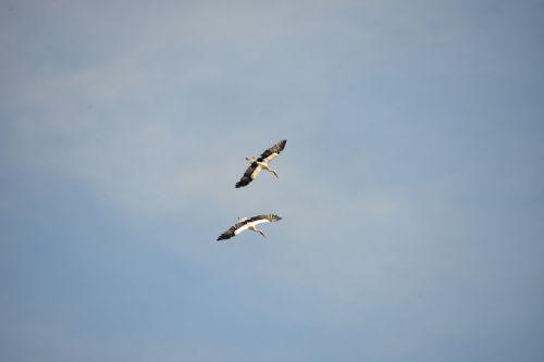 storks birds animals