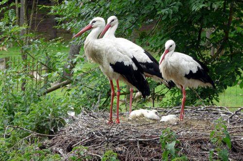 storks storchennest birds