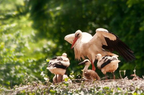 storks hatching young animals