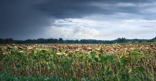 storm  sunflowers  landscape