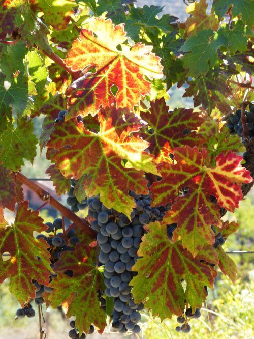 strain vine autumn