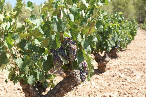 strain  grapes  clusters