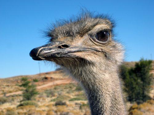 strauss flightless bird head