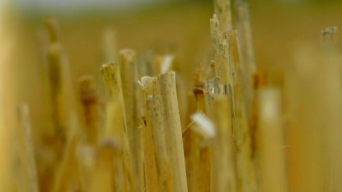 straw field golden