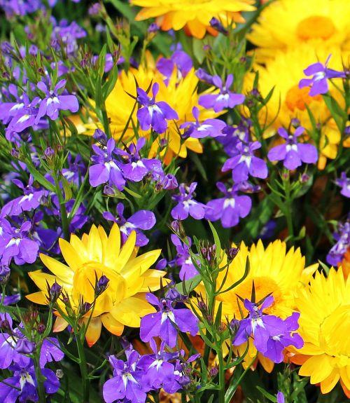 straw flowers flowers yellow strawflower nature