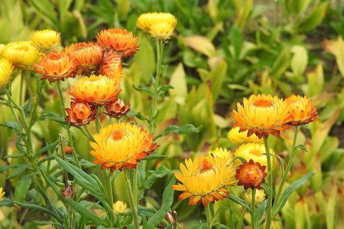 straw flowers composites helichrysum
