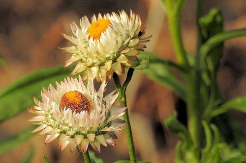 šiaudų gėlės,kompozitai,Helichrysum,balta,užpildytas