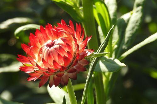 straw flowers red flower