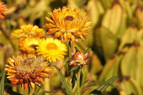straw flowers yellow flower