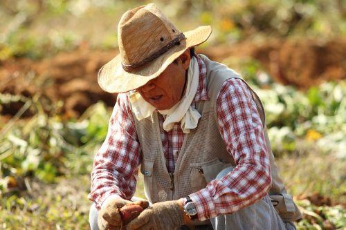 straw hat farmer sweet potato farming