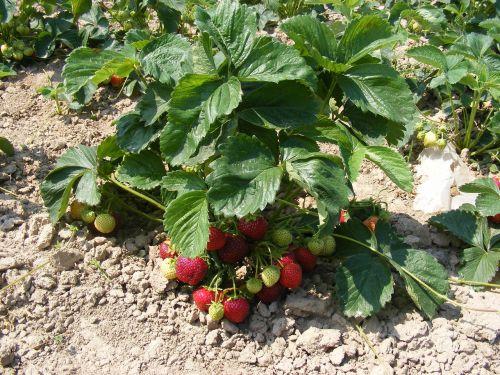 strawberries strawberry bush strawberry bushes