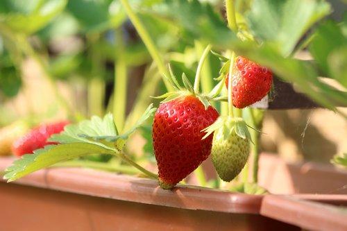 strawberries  fruit  sweet