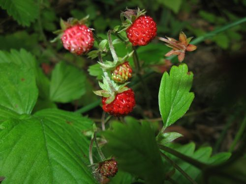strawberries fragaria wild