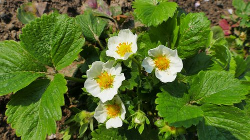 strawberries  flowers  spring