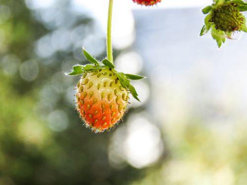 strawberries plants fruit