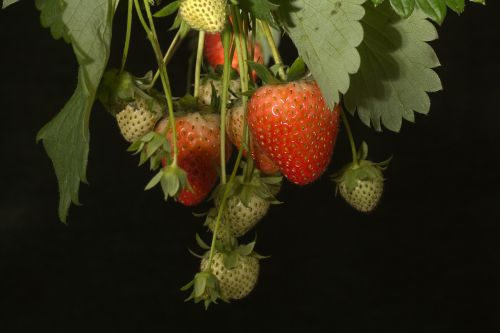 strawberries bush fruits on the tree
