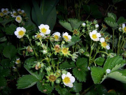 strawberry flowers wood strawberry