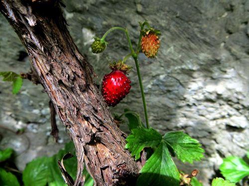 strawberry plant wood strawberry