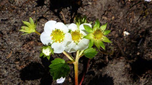 braškės,žiedas,žydėti,augalas,Uždaryti,braškių gėlė,braškių augalas,sodas,maistas,gamta
