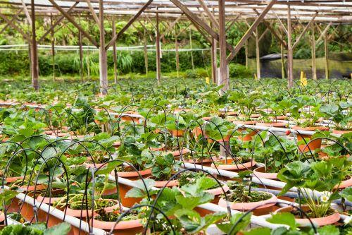 braškės,braškės,braškių augalas,puodai,ūkis,puodą,puodai