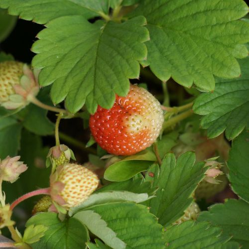 strawberry berry matures