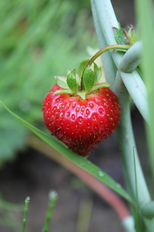 strawberry dacha ripe