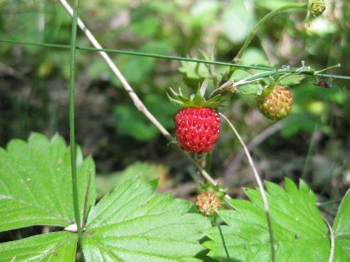 strawberry summer wild