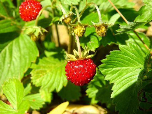 strawberry wild strawberry berry