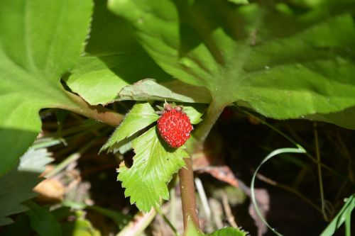 strawberry fruit nature