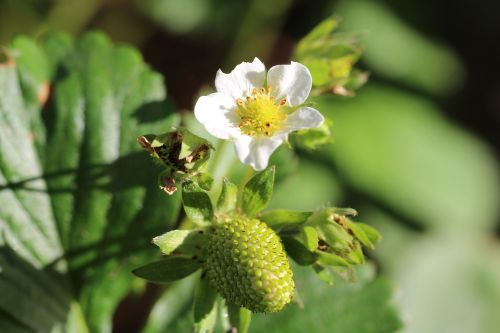 strawberry strawberry flower bloom