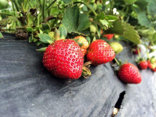 strawberry farm fresh