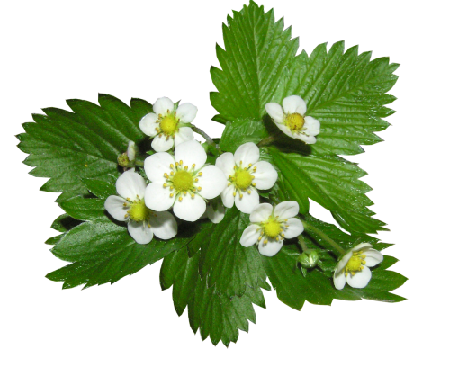 strawberry flowers alpine