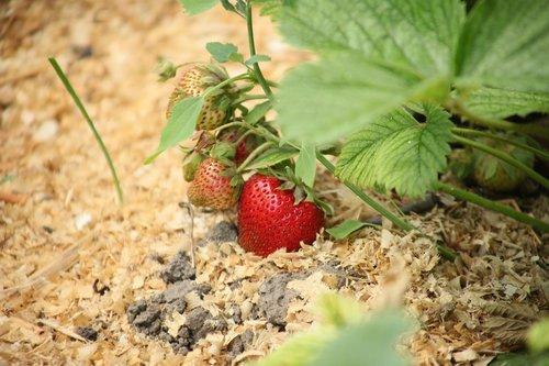 strawberry  berry  ripe strawberry