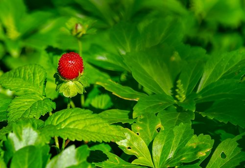 strawberry  wild strawberry  nature